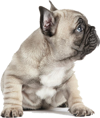 A beige colored french bulldog