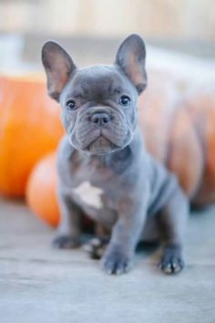 owning a blue french bulldog puppy
