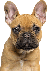 Are french bulldogs low maintenance