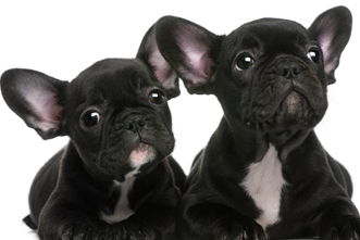 the french bulldog guide