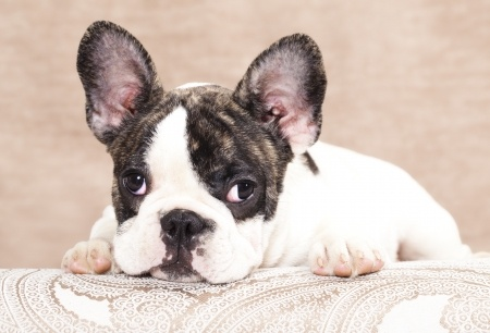 History Of The French Bulldog