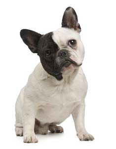 training your french bulldog puppy