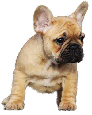 how to potty train french bulldog in apartment