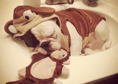 manny the french bulldog sleeping 12