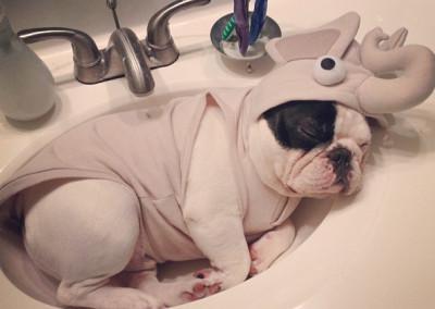 manny the french bulldog sleeping 9