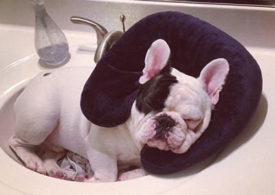 manny the french bulldog sleeping 3