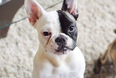 Chloe the Stolen French Bulldog - Found!
