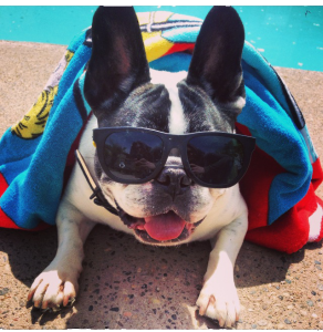 french-bulldogs-overheating