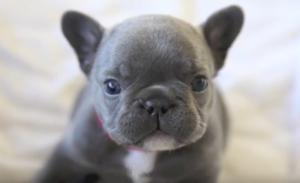 Blue French Bulldogs What To Know Before Owning One